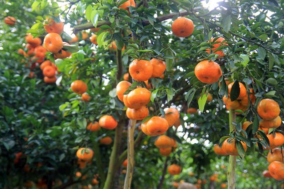 萊翁紅橘子深受消費者的歡迎。(圖源:楊觀夏)