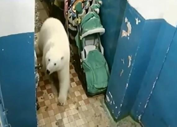 一隻北極熊闖入民房。(圖源:互聯網)