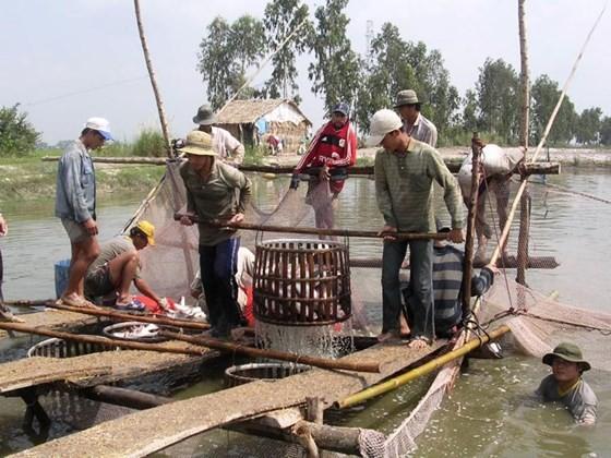 九龍江平原區域收穫查魚。(圖源:阮清)