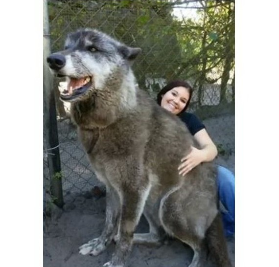由狼與狗雜交所生下的巨犬Yuki,有著87.5%灰狼、8.6%哈士奇及3.9%德國牧羊犬血統。(圖源:互聯網)