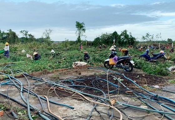 陳敏的胡椒園被砍伐,民眾前來採摘胡椒。