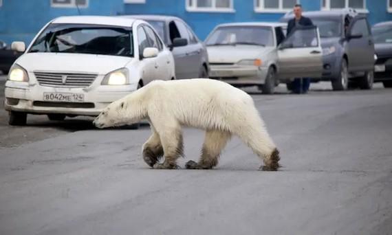 俄羅斯諾里爾斯克市街頭,一頭北極熊正在過馬路。(圖源:互聯網)
