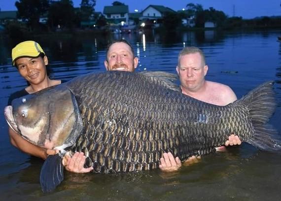 重達105公斤的「鯉魚王」。(圖源:互聯網)