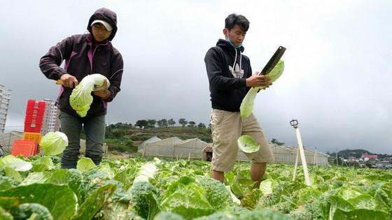 大勒農夫收穫蔬菜。(圖源:梅榮)