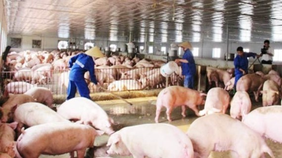 Pig breeders have faced many difficulties because of price fall