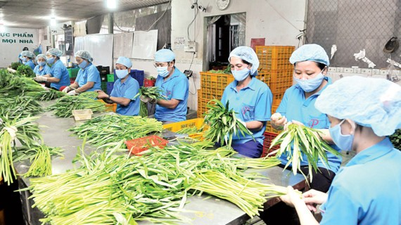 Workers processing vegetables at Phuoc An cooperative in HCMC (Photo: SGGP)