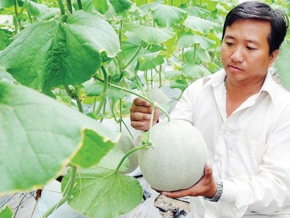Muskmelon farming in Agricultural Hi-Tec Park, HCMC (Photo: SGGP)