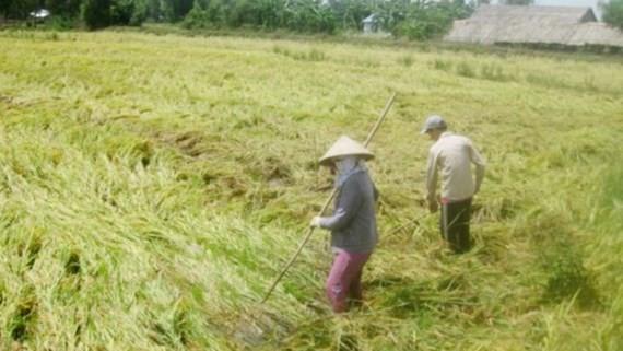 Heavy rains flatten summer autumn rice in the Mekong Delta for the last few days (Photo: SGGP)