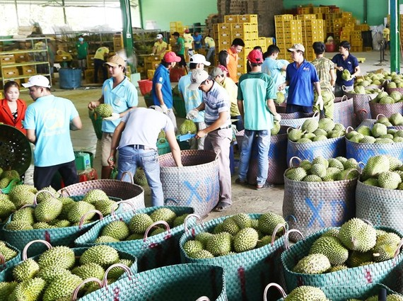 Durian ready for export in Tien Giang Province. (Photo: VNA/VNS)