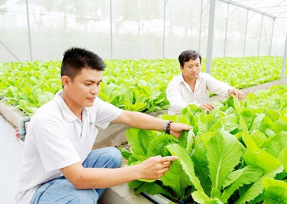 Vegetable production at Saigon Hi-Tech Park (Photo: SGGP)