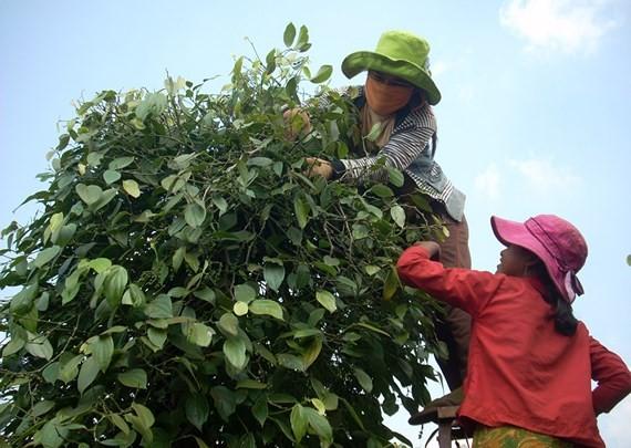 Farmers harvest pepper (Photo: SGGP)