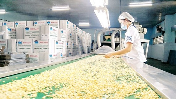 A worker examines cashew nut after preliminary processing (Photo: SGGP)