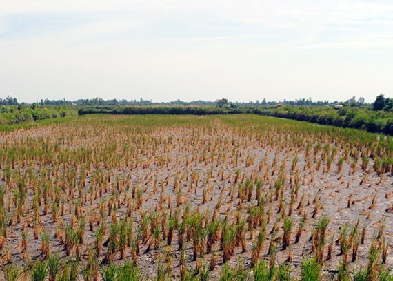 A rice field dies of drought and salt intrusion. Vietnam and the Netherlands have cooperated together in climate change adaption (Photo: SGGP)