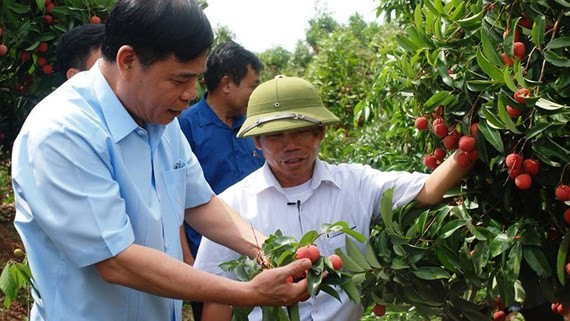 Minister of Agriculture and Rural Development Nguyen Xuan Cuong visits a litchi orchard in the northern province of Hung Yen (Photo: SGGP)