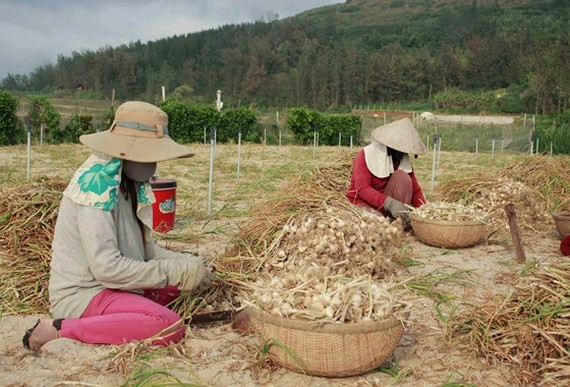 Farmers harvest garlic in Ly Son Island, Quang Ngai province  (Photo: SGGP)
