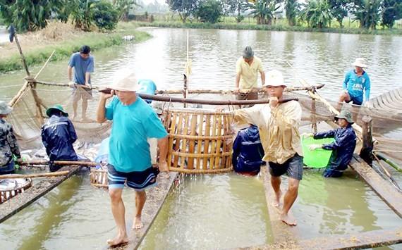 Pangasius fish harvest in the Mekong Delta of Vietnam (Photo: SGGP)