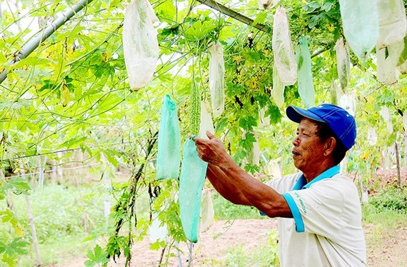 Mr. Tran Luong at Tuy Loan vegetable cooperative takes care of what is left after the flood (Photo: SGGP)