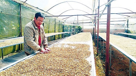 A farmer dries coffee beans which are one of the farm products of high demand in the Middle East countries.