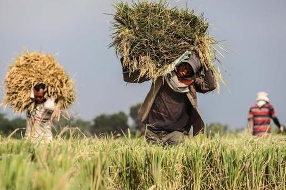 The European Commission (EC) is likely to impose tariffs on rice coming from Cambodia and Myanmar (Photo: www.ansa.it)