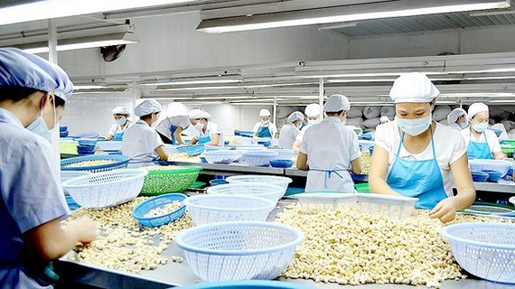 Cashew processing firms in Binh Phuoc Province have passed their heyday. (Photo: SGGP)