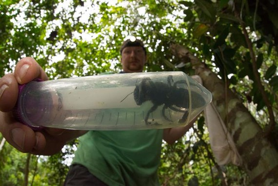 Eli Wyman, a member of the research group from the US' Princeton University holds a tube with a Wallace's giant bee, which was discovered in North Moluccas islands in northeast Indonesia (Photo: AFP/VNA)