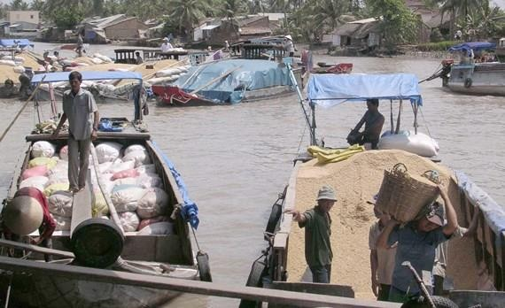 Traders buy paddy in the Mekong Delta provinces. (Photo: SGGP)