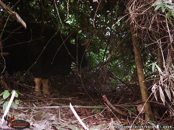 A gaur individual captured by camera trap in Rao Con Village.