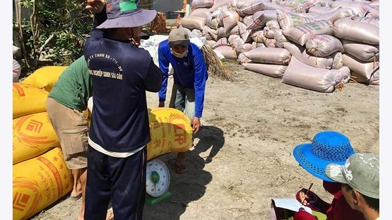 Fragrant rice price was only VND4,700 a kilogram in Tan Hiep district, Kien Giang province on March 6 (Photo: SGGP)