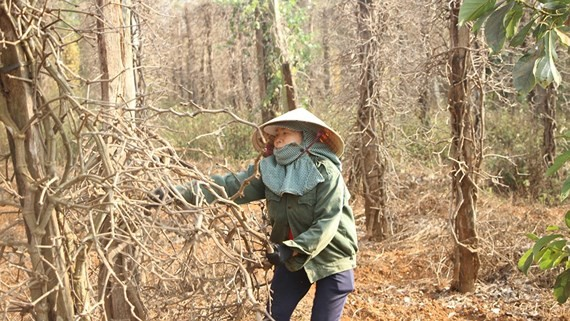 Pepper plants are dead in Chu Puh District in Gia Lai Province. (Photo: SGGP)