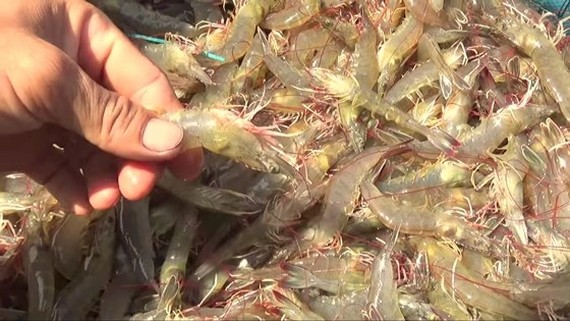 Export value of Vietnamese shrimps has strongly dropped. (Photo: SGGP)