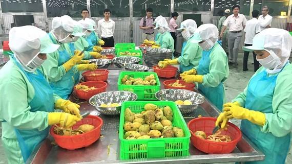 Vietnamese mangoes have entered Chinese market. (Photo: SGGP)
