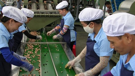 Workers process cashew nuts at a cashew plant. (Photo: SGGP)