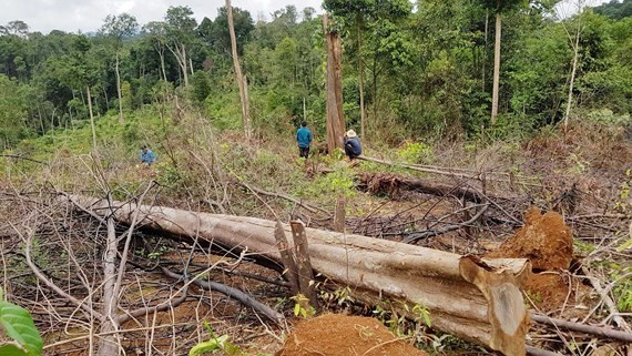 Deforestation is the most urgent issue of forestry industry. (Photo:SGGP)
