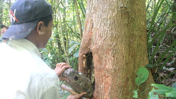 A beehive built in a tree trunk by Gie Trieng people (Photo: SGGP)