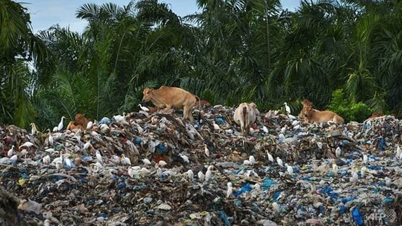 Egrets surround a group of cows as they gather on the top a rubbish pile at a waste dump in Meulaboh, Aceh province on Jun 8, 2019. (Photo: AFP)