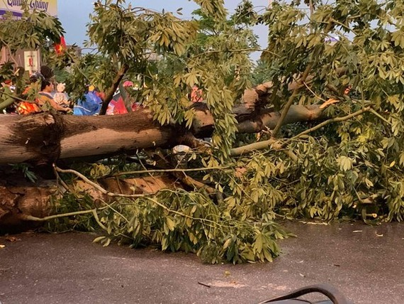 Typhoon Podul's fury uprooted lots of trees in Hanoi on August 29 (Photo: SGGP)