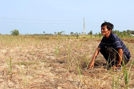 Một cánh đồng ở ĐBSCL bị xâm nhập mặn. Ảnh tư liệu