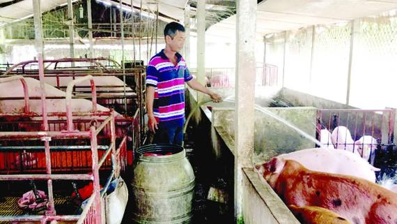 Các chủ trang trại chăn nuôi heo rất lo lắng bị cúp điện đột ngột khi nắng nóng