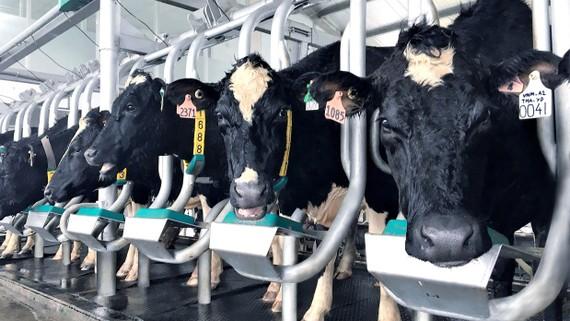 Vinamilk sản xuất sữa A2 đầu tiên tại Việt Nam