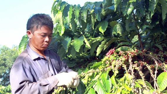 Thu hoạch cà phê đặc sản ở Đắk Lắk