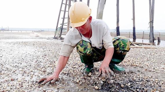 Nghêu chết hàng loạt tại xã Hải Lộc, người nuôi nghêu trắng tay
