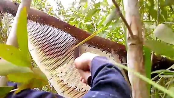 Phạt 1,5 - 3 triệu đồng nếu lấy mật ong rừng