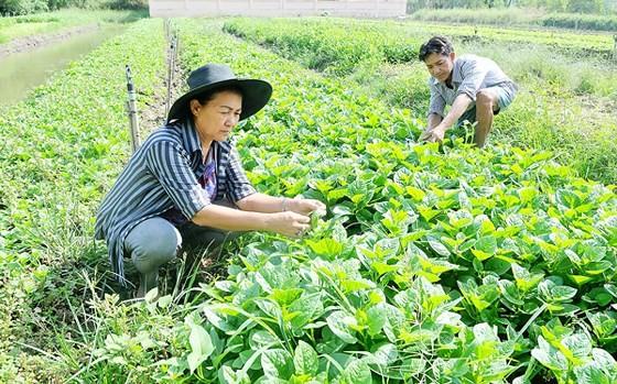 Trồng rau VietGAP tại huyện Bình Chánh. Ảnh: CAO THĂNG