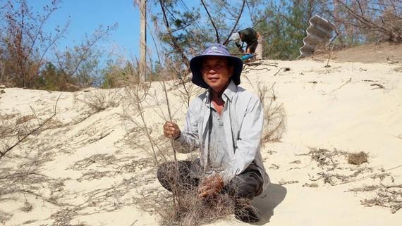 Rừng phi lao ven biển Phú Yên mới trồng bị chết cháy trên cát. Ảnh: NGỌC OAI