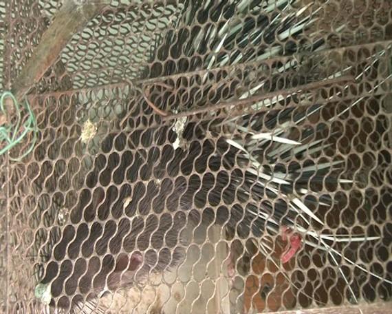 Những con nhím hoang dã mà bà Lê Thị Hằng chuẩn bị đưa đi tiêu thụ.