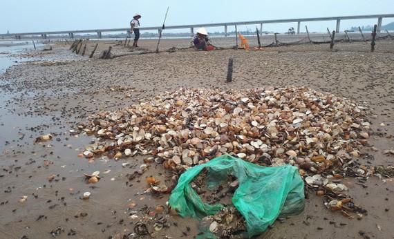 Nghêu chết hàng loạt khiến nhiều hộ nuôi ở Hà Tĩnh bị thiệt hại nặng