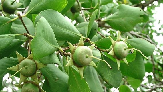 Trái bần, loài cây mọc ven sông, ven biển ở miền Tây Nam bộ     Ảnh: HIỀN TRANG