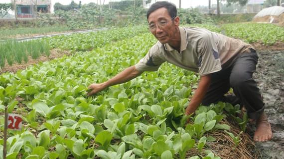 Cuộc sống người dân xã Tân Nhựt ngày càng khấm khá  nhờ các mô hình trồng rau sạch