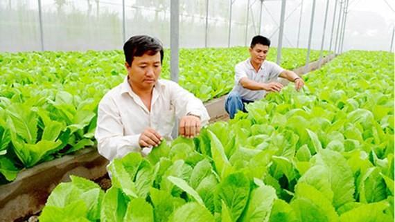 Chăm sóc rau trồng trong Khu Nông nghiệp công nghệ cao TPHCM