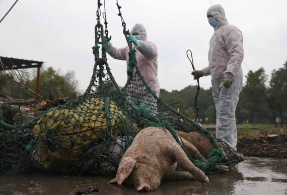 Trung Quốc tiêu huỷ lợn bệnh sau khi có báo cáo về dịch sốt lợn châu Phi đầu tiên ở nước này. Ảnh: SCMP. COM